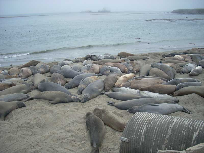 Elephant Seals on the Central California Coast
