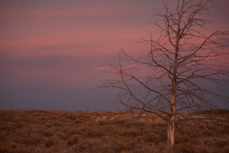 Dead Juniper on a Firery Sky