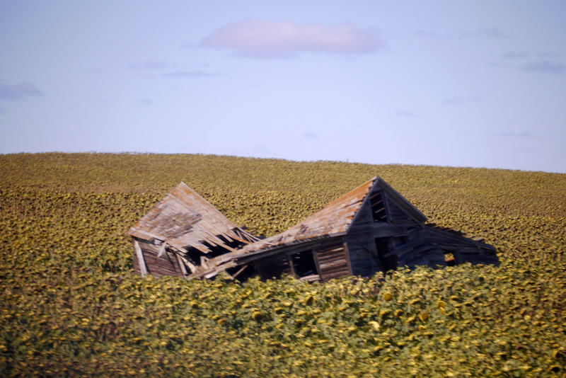 Above: A collapsed old building amid a field of sunflowers