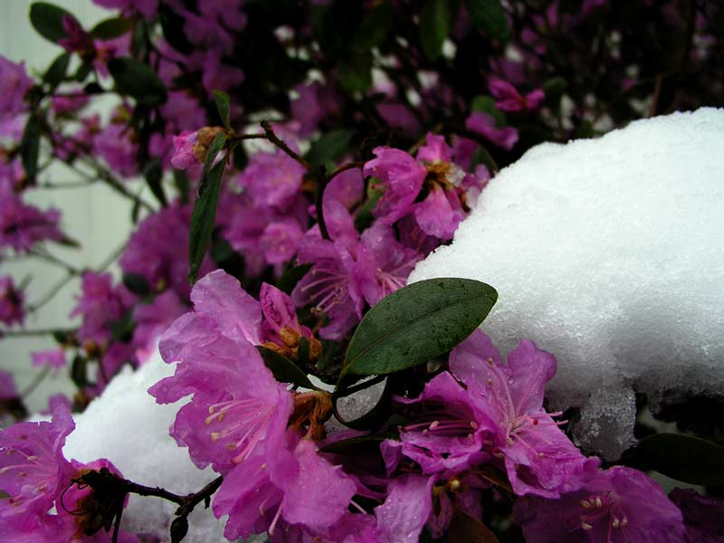Rhodie in snow