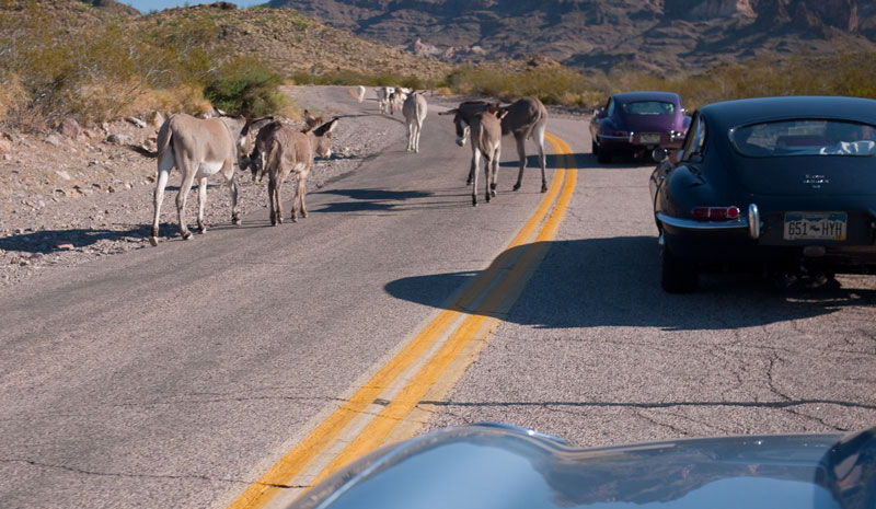 Burros outside Oatman AZ