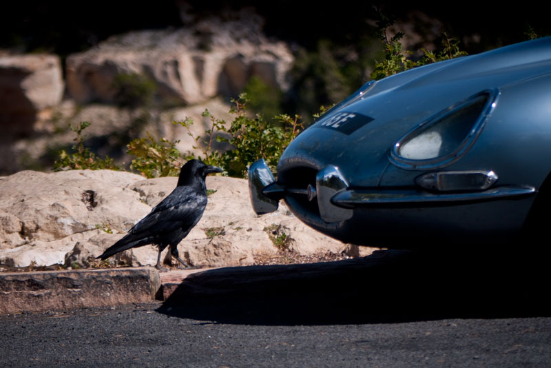 A crow checks out the Jaguar.